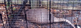 Leprosy-inducing armadillo, behind bars where he belongs.