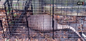 Armadillos, leprosy, and media hype
